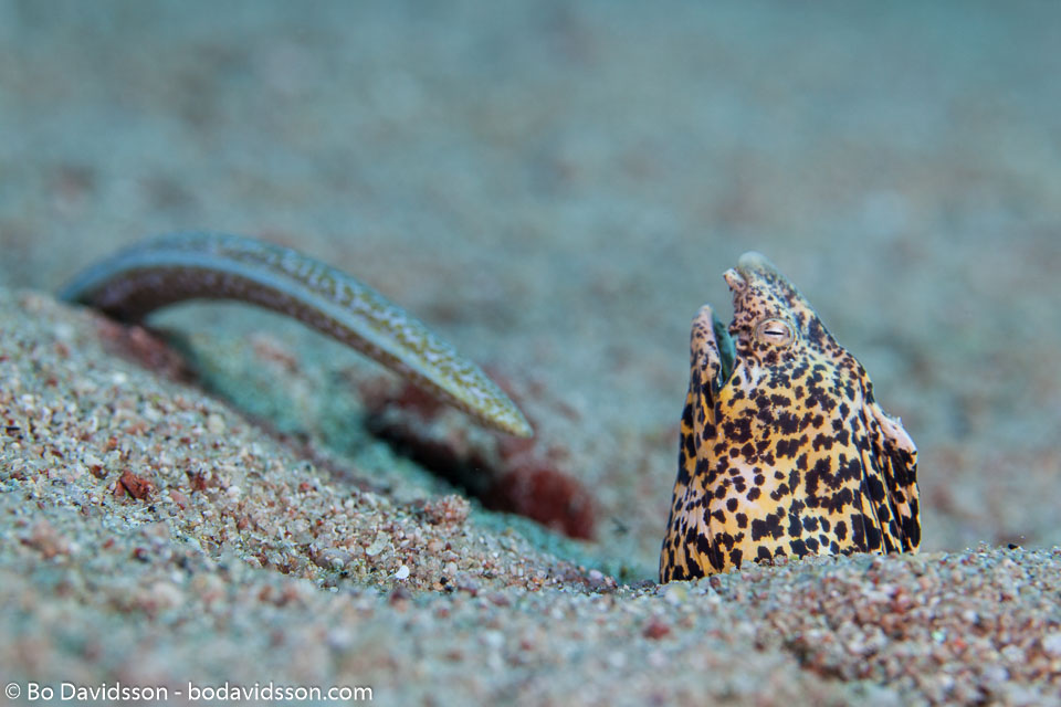 BD-121127-Aqaba-7297-Callechelys-marmorata-(Bleeker.-1854)-[Marbled-snake-eel].jpg